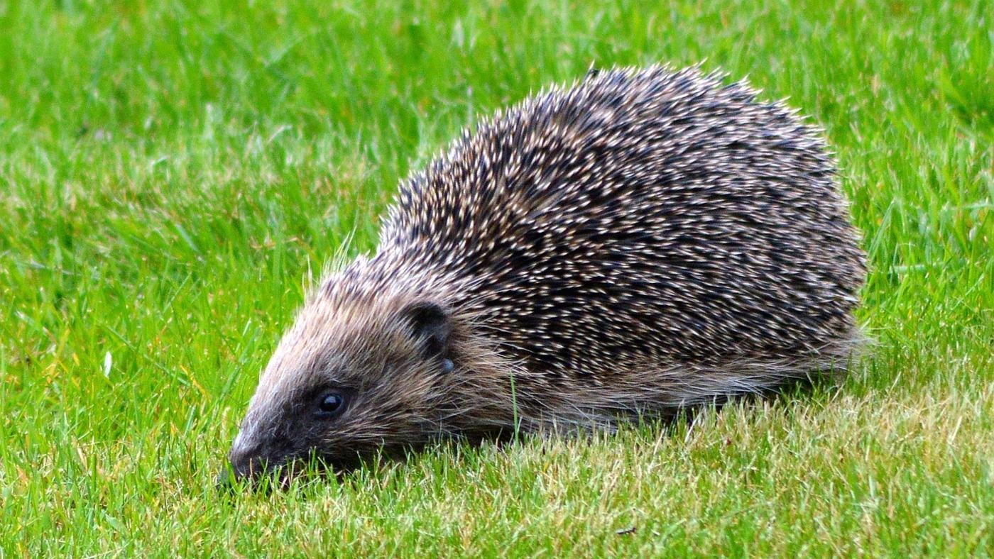Where Do Hedgehogs Live in the Wild?