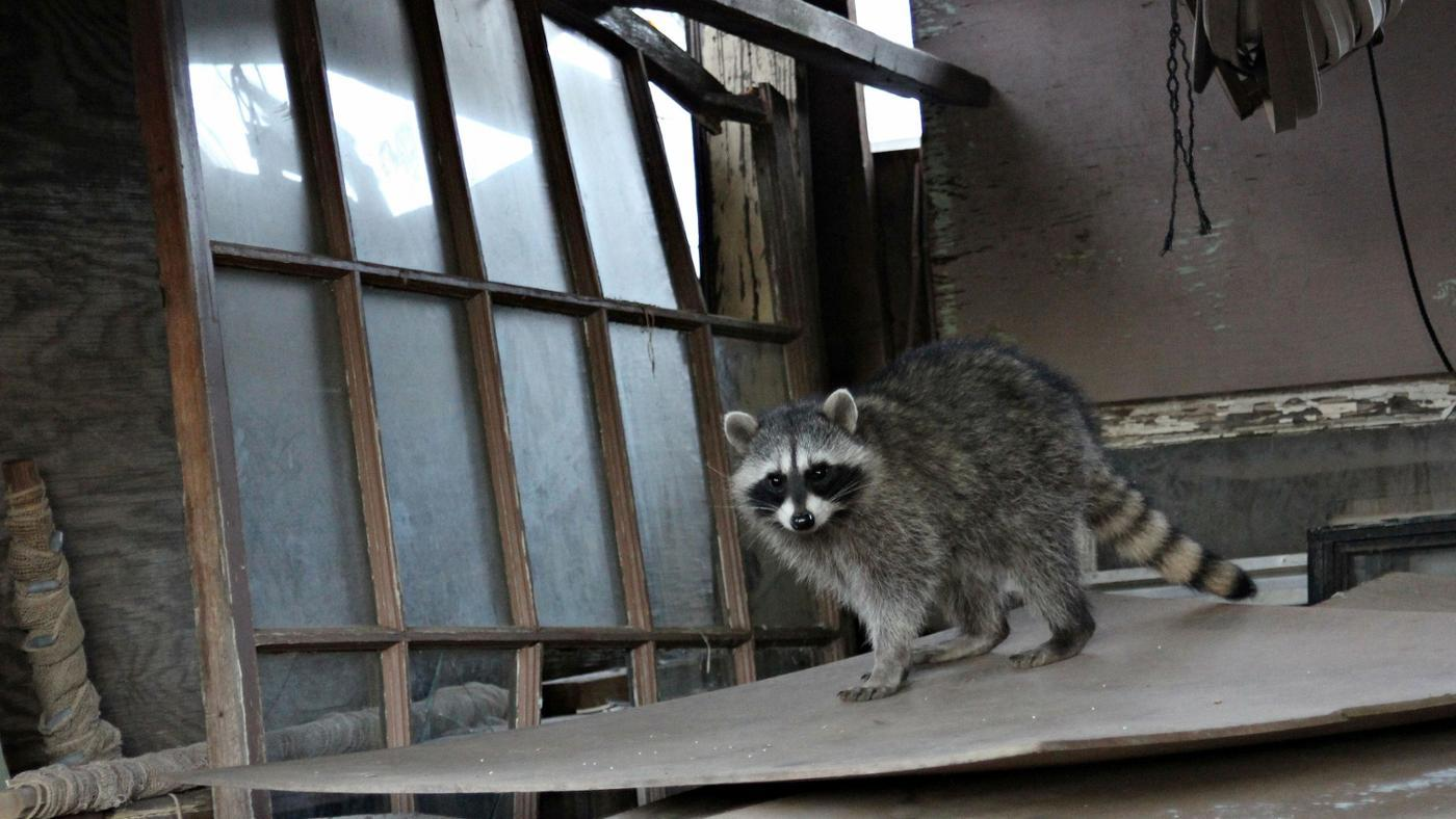 What Are Some Home Remedies to Get Rid of Raccoons?