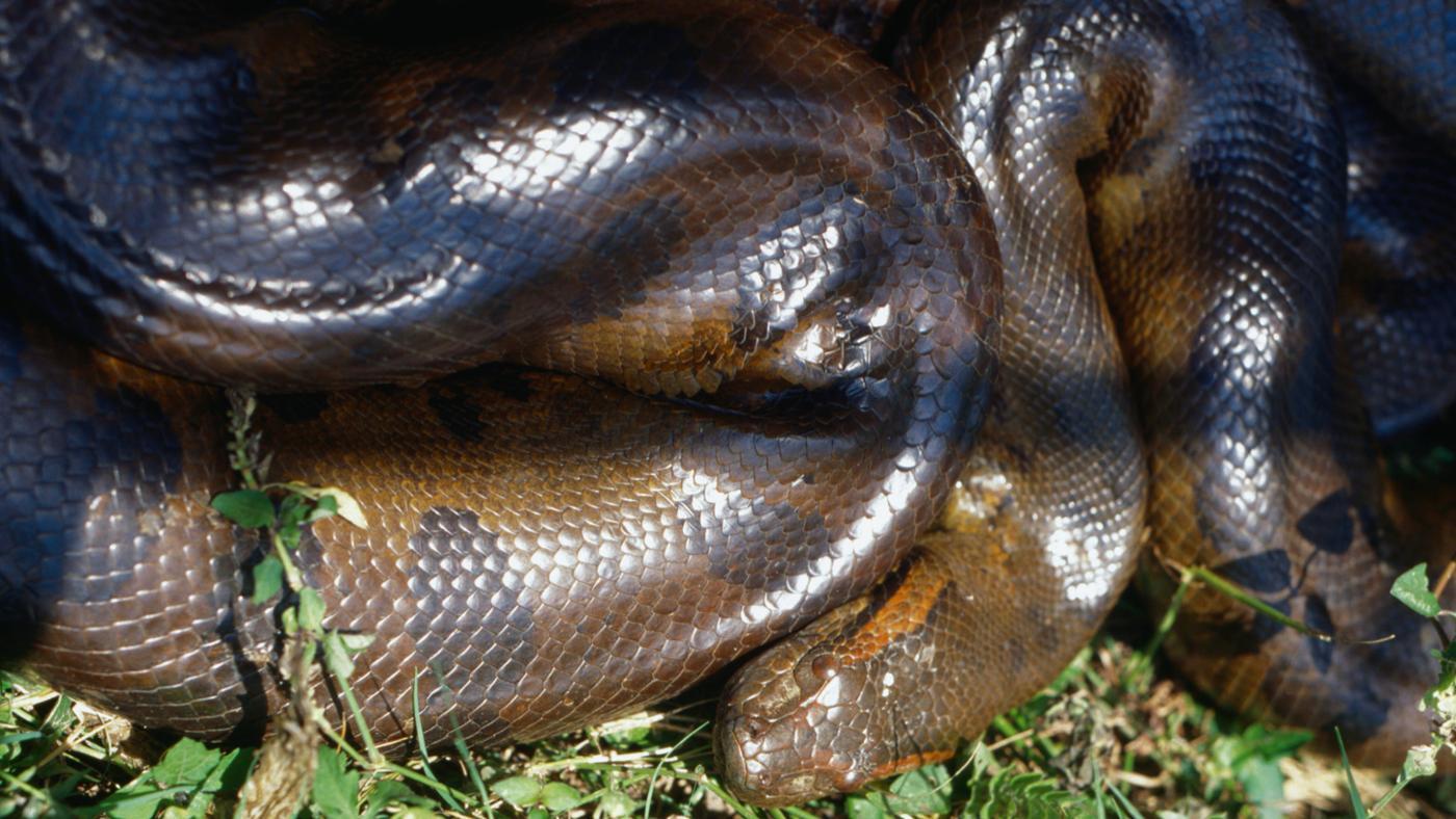 How Do Anacondas Kill Their Prey?