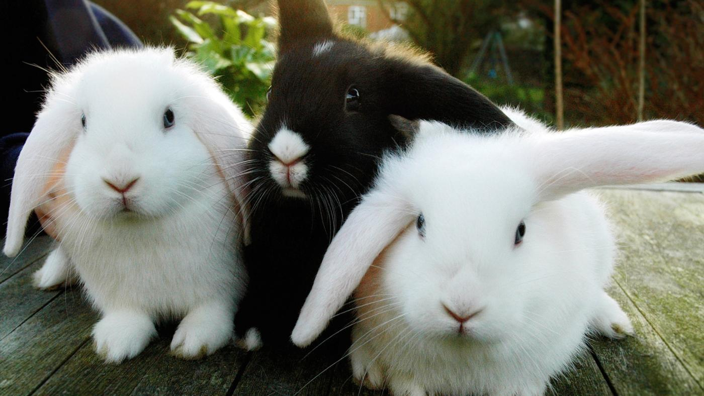 How Can You Tell If a Rabbit Is a Male or Female?