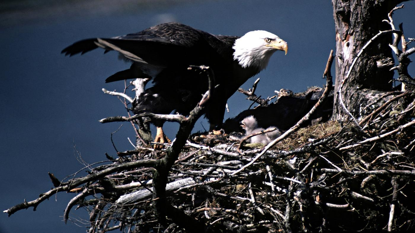 How Do Bald Eagles Reproduce?