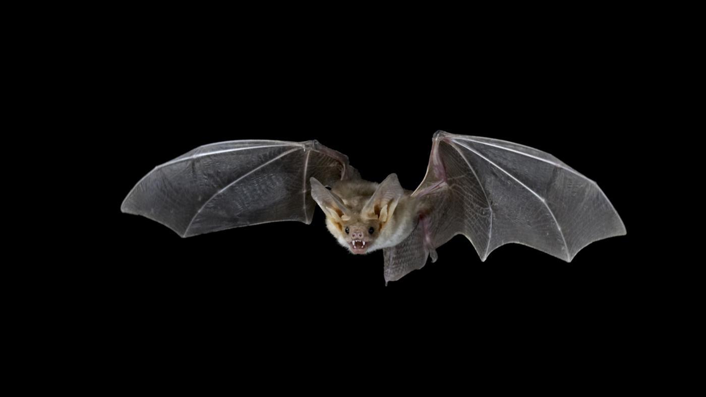 How Do Bats Catch Their Prey at Night?