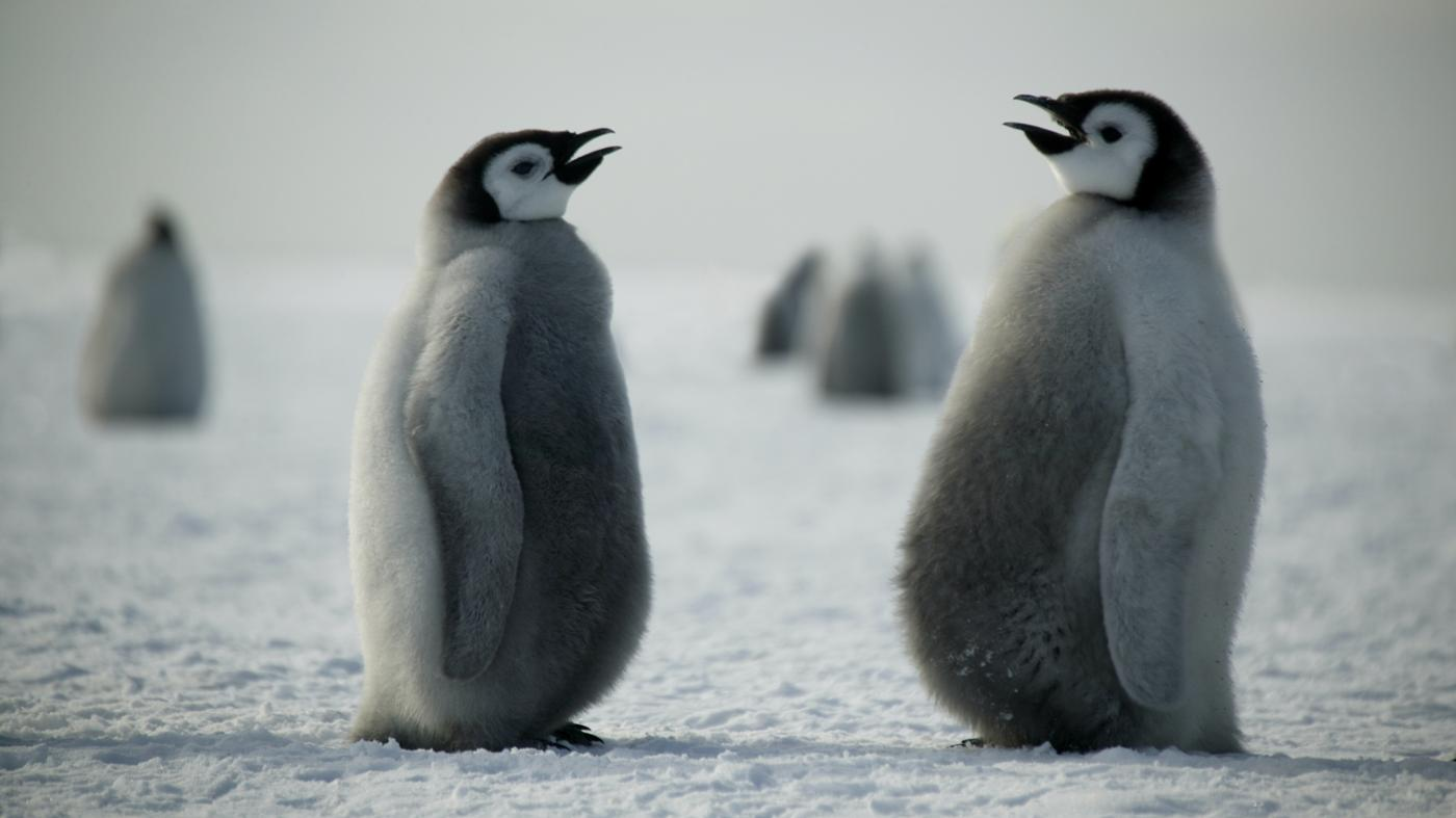 How Do Penguins Communicate?
