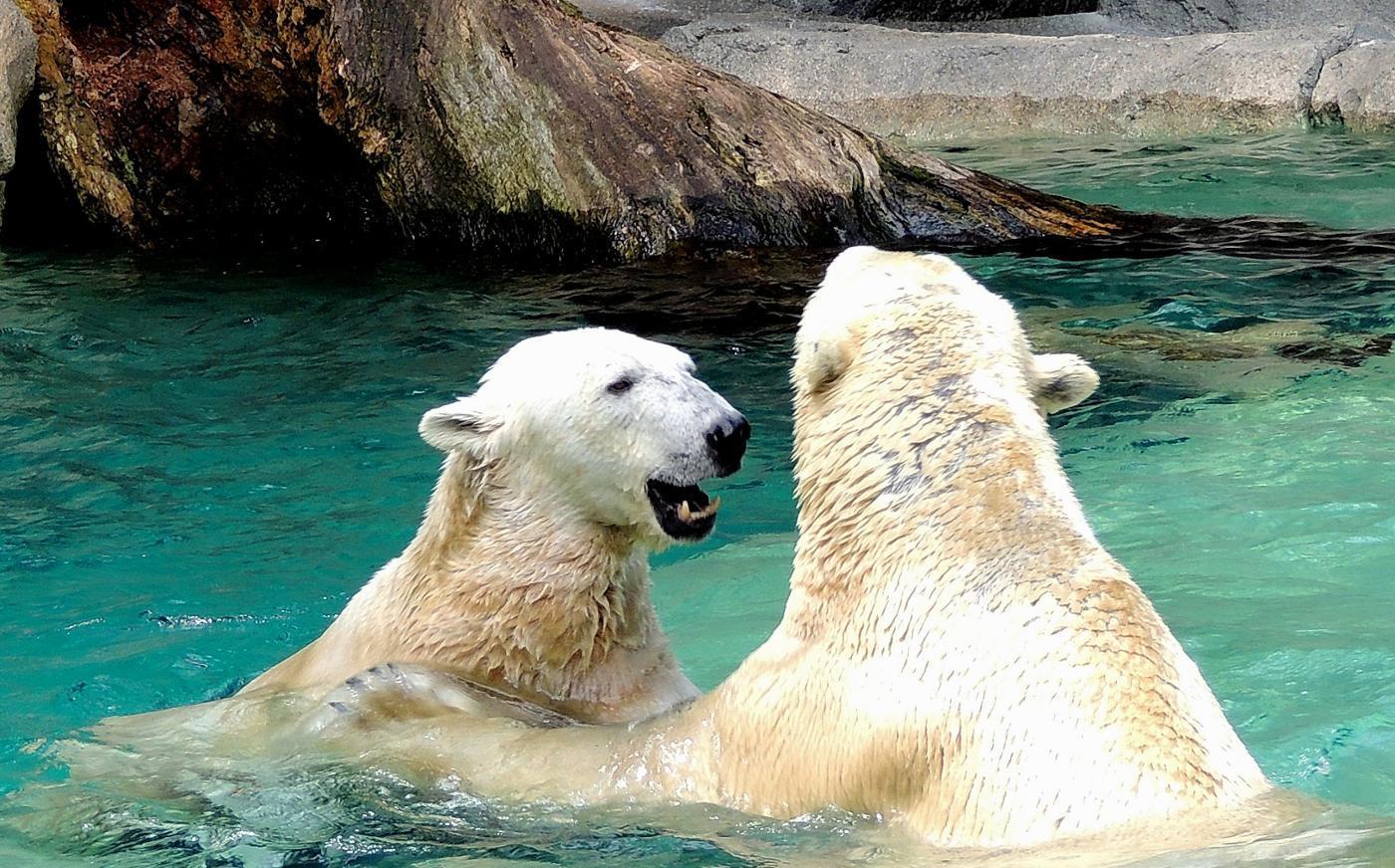 How Do Polar Bears Reproduce?