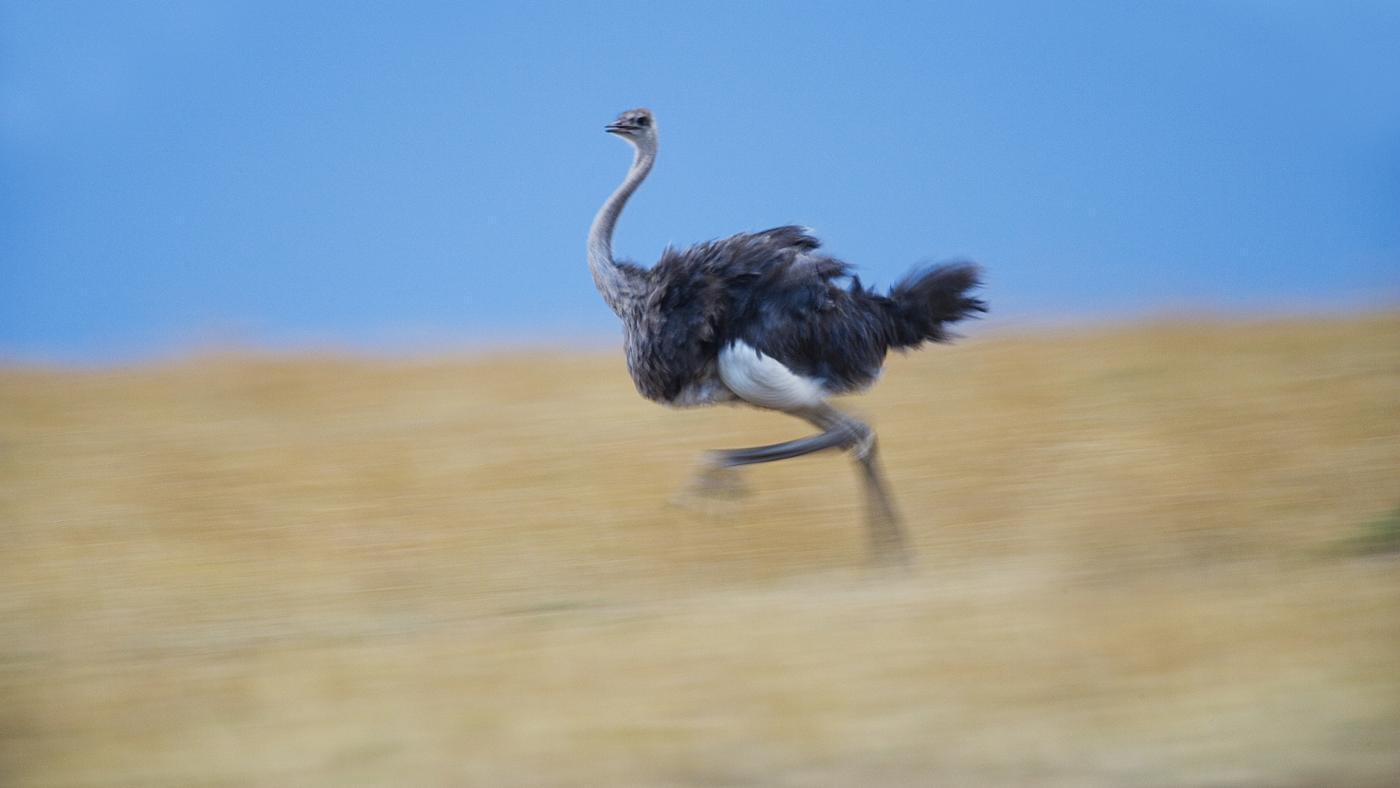 How Fast Can an Ostrich Run?