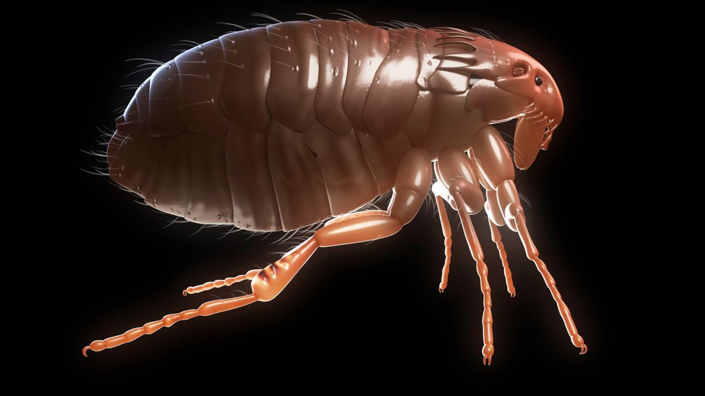 How Long Do Fleas Live?