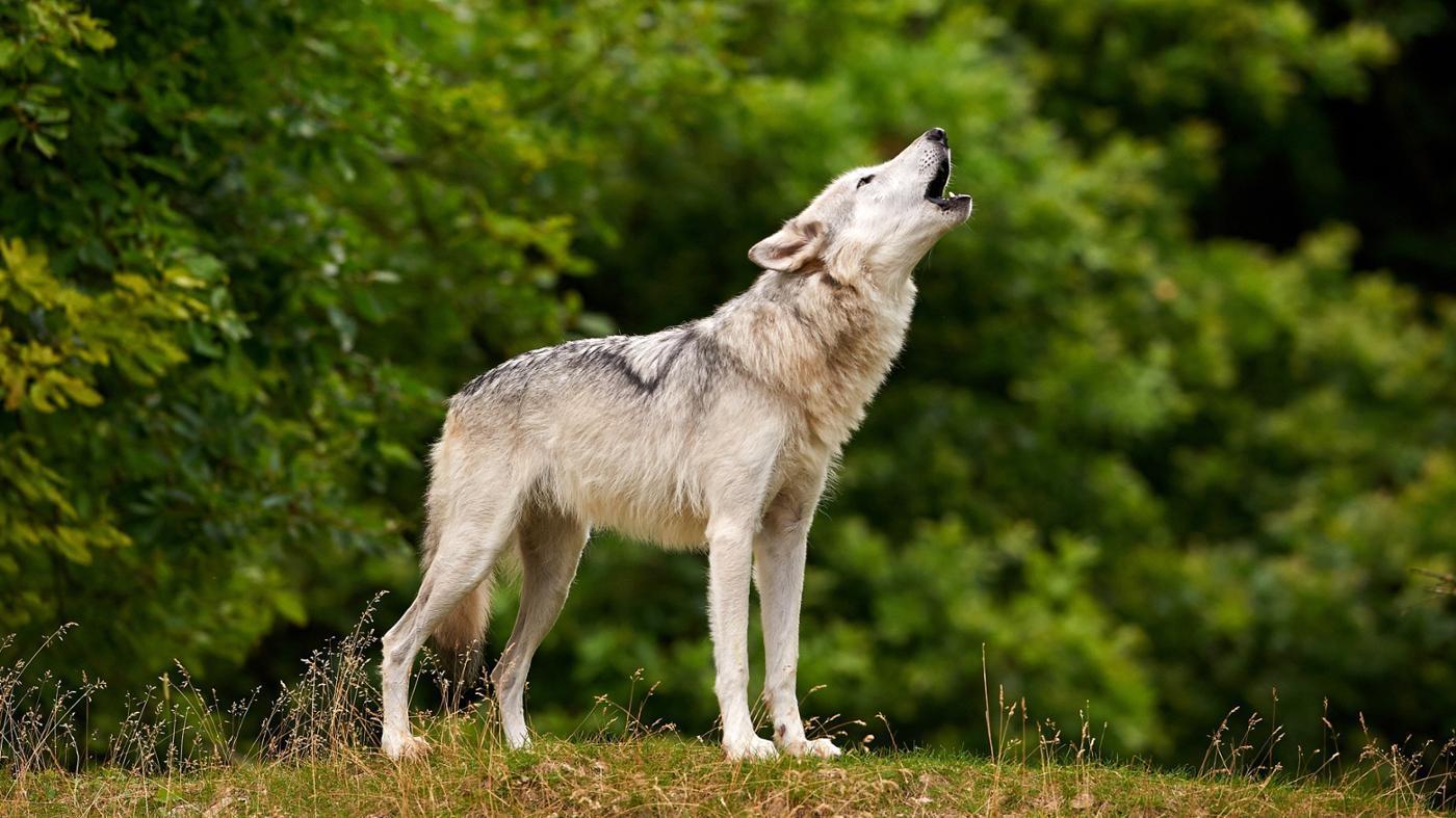 How Long Do Wolves Live?