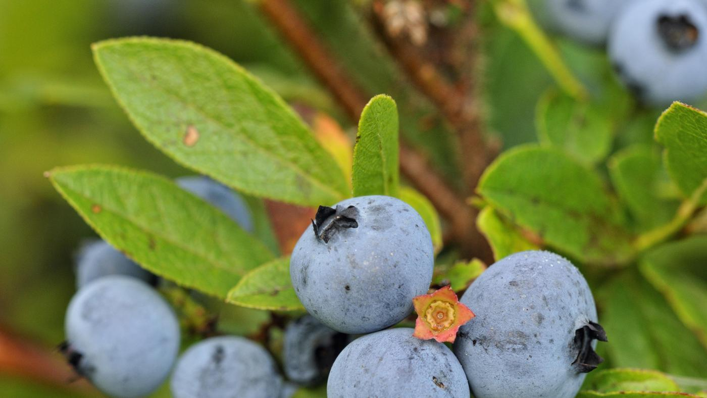 How Do You Identify a Blueberry Bush Leaf?