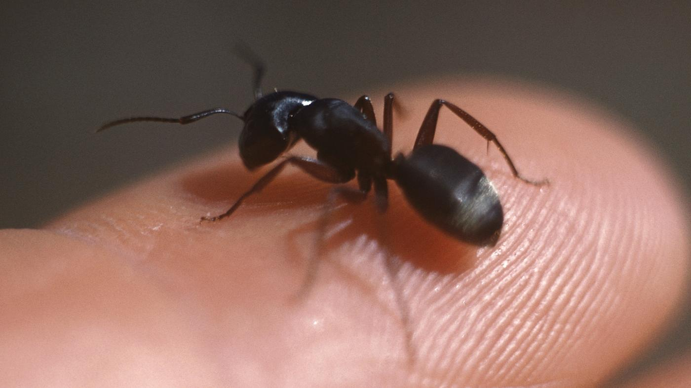 How Do You Identify Carpenter Ants?