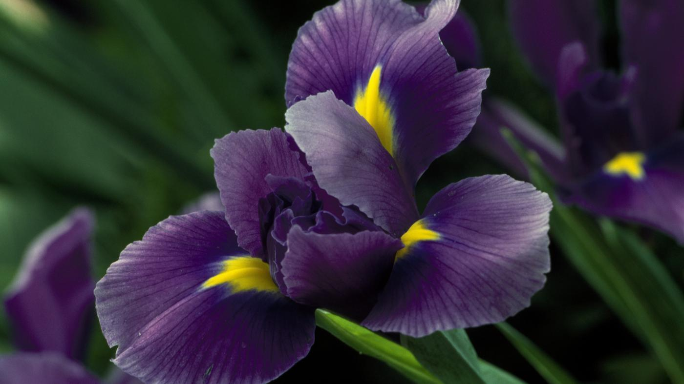 When Do Iris Flowers Bloom?