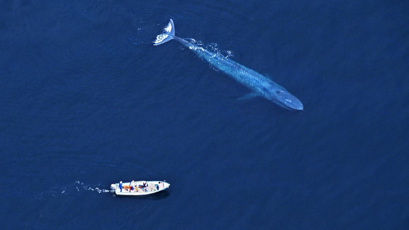 Is the Blue Whale Larger Than a Dinosaur?