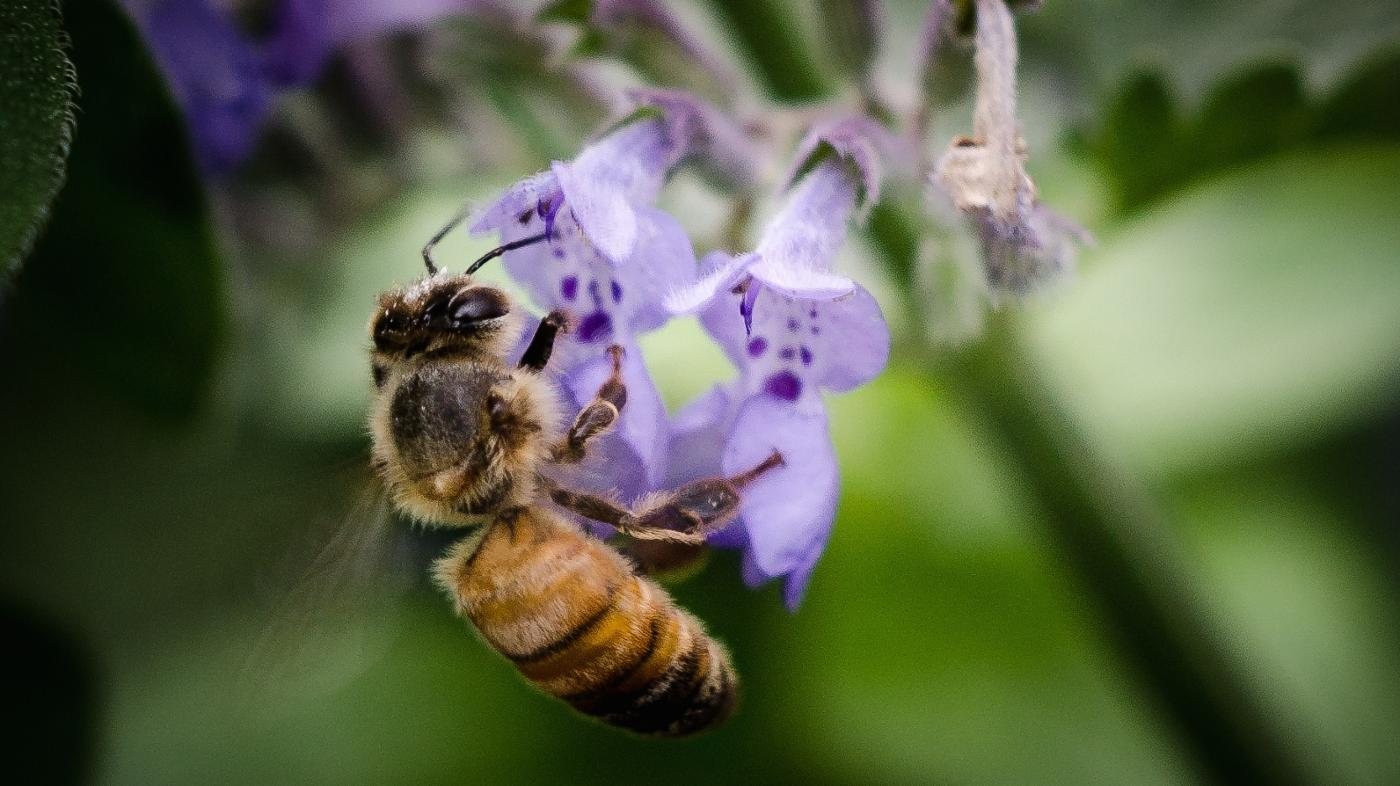 What Are Italian Honey Bees?