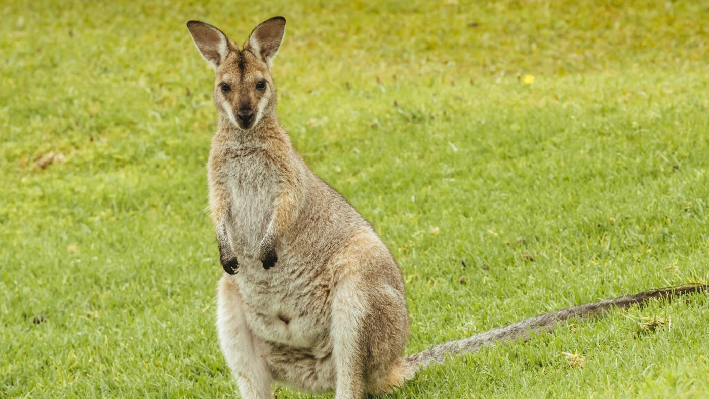 What Is a Kangaroo's Food Chain?