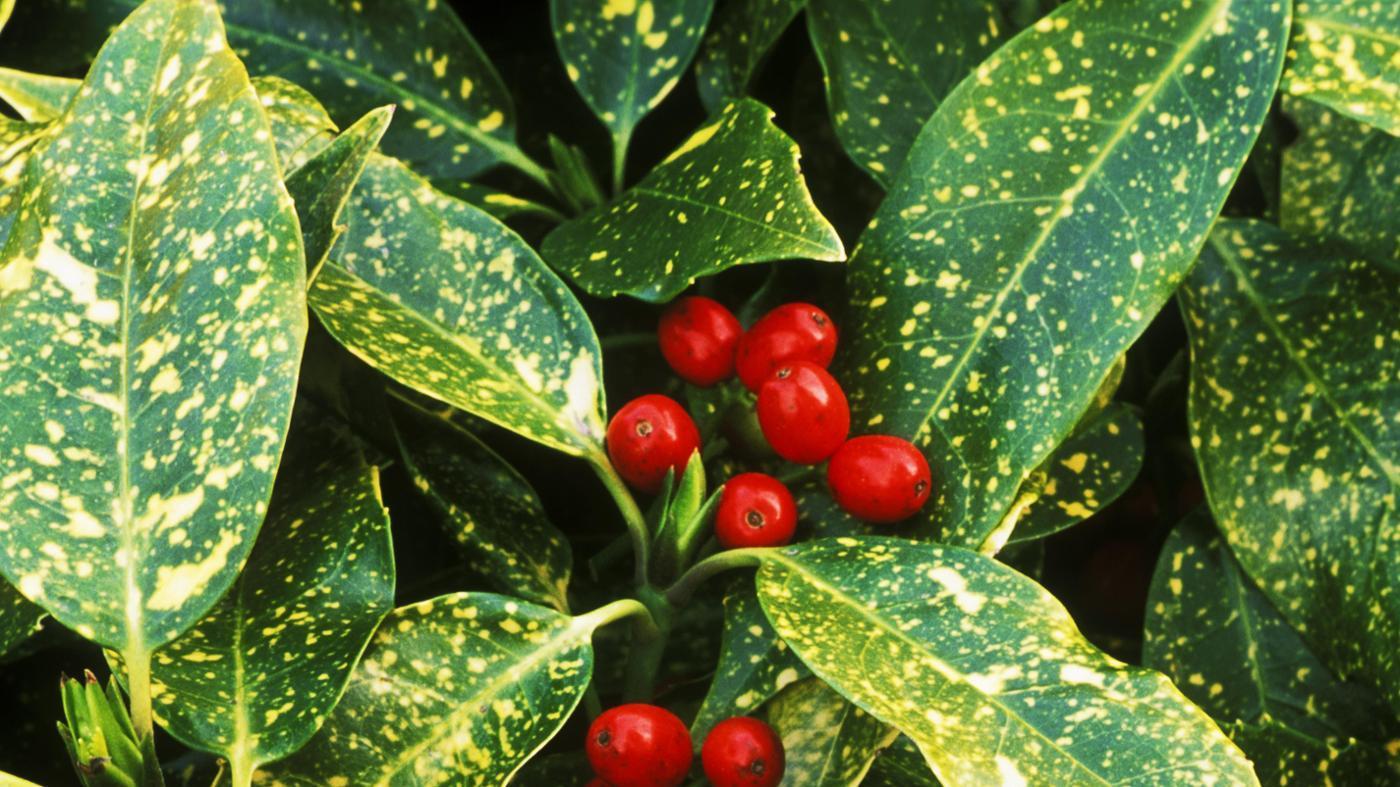 Are Laurel Berries Poisonous?
