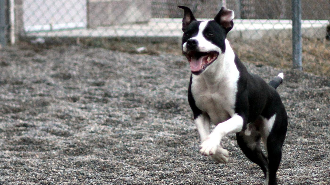 What Is the Life Expectancy of a Pit Bull?
