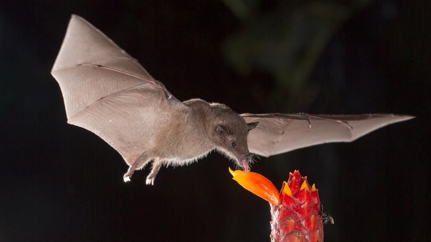 How Long Do Bats Live?