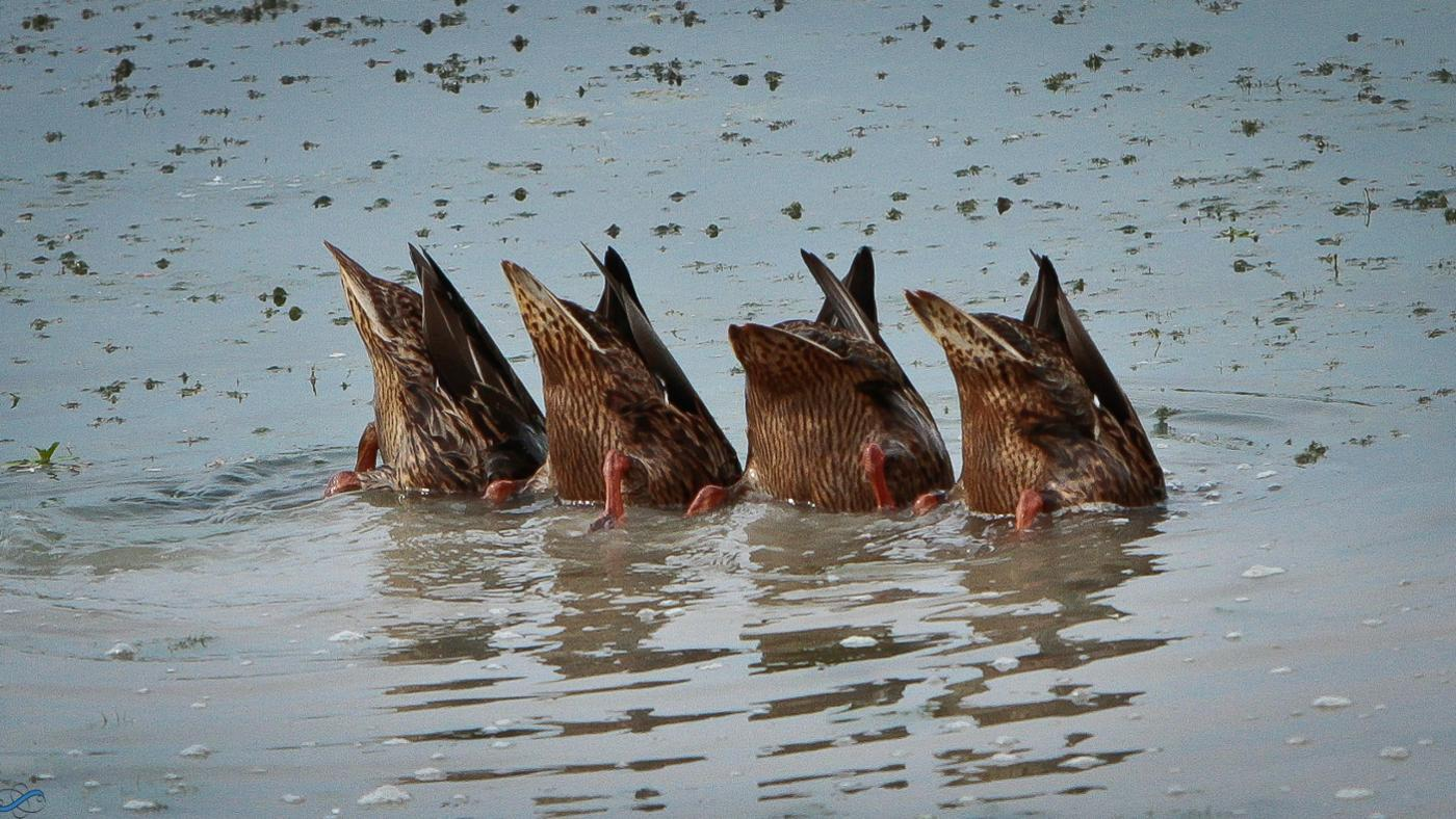 How Long Can Birds Hold Their Breath Underwater?