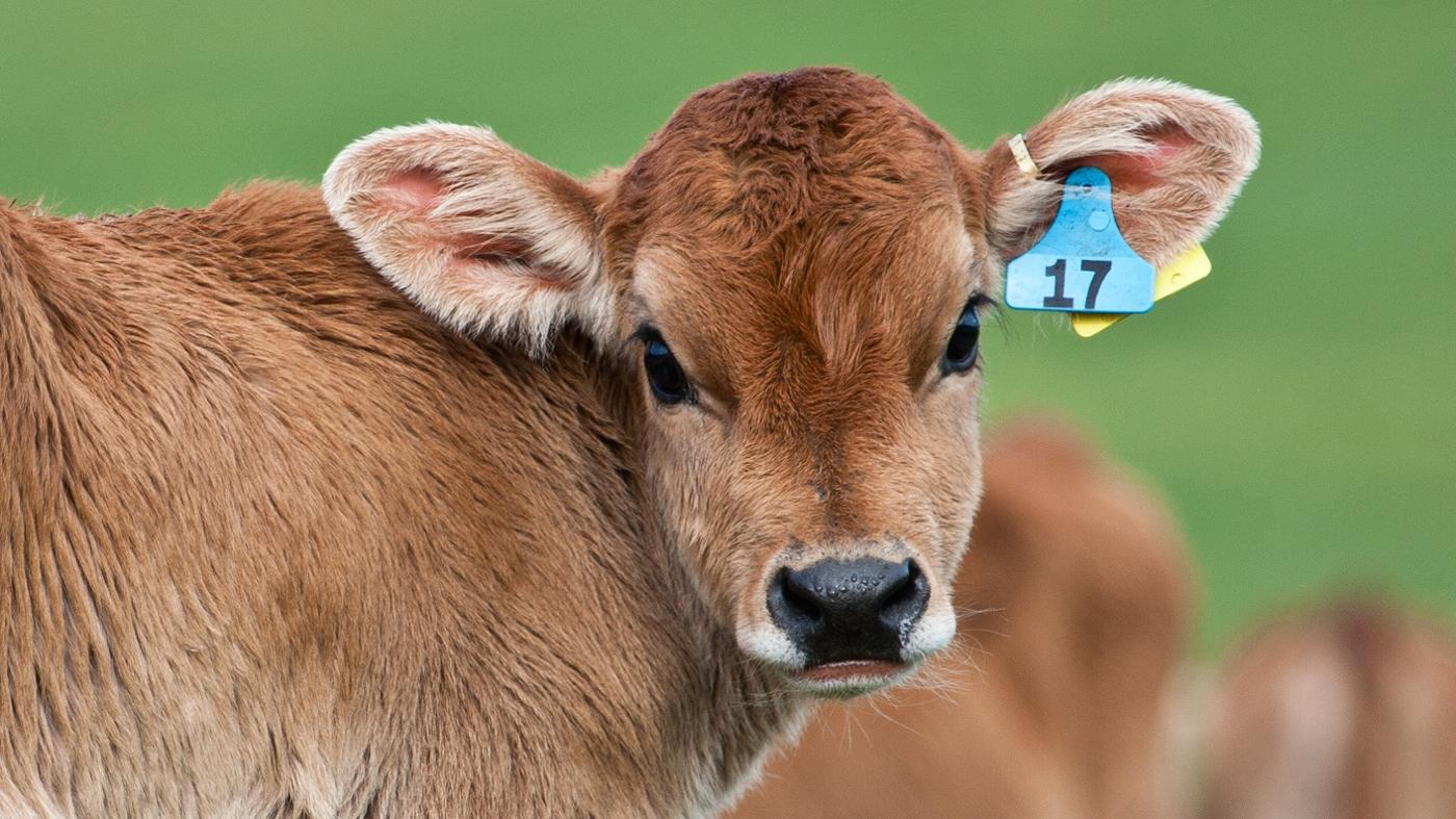 How Long Does a Cow Carry a Calf?