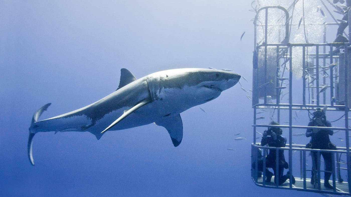 How Long Is a Great White Shark?