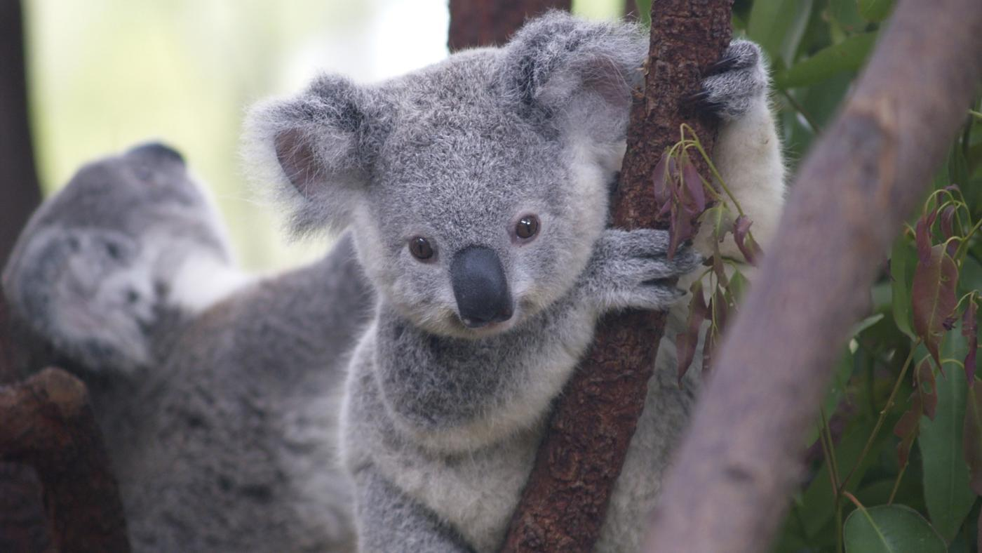 How Long Do Koalas Live?