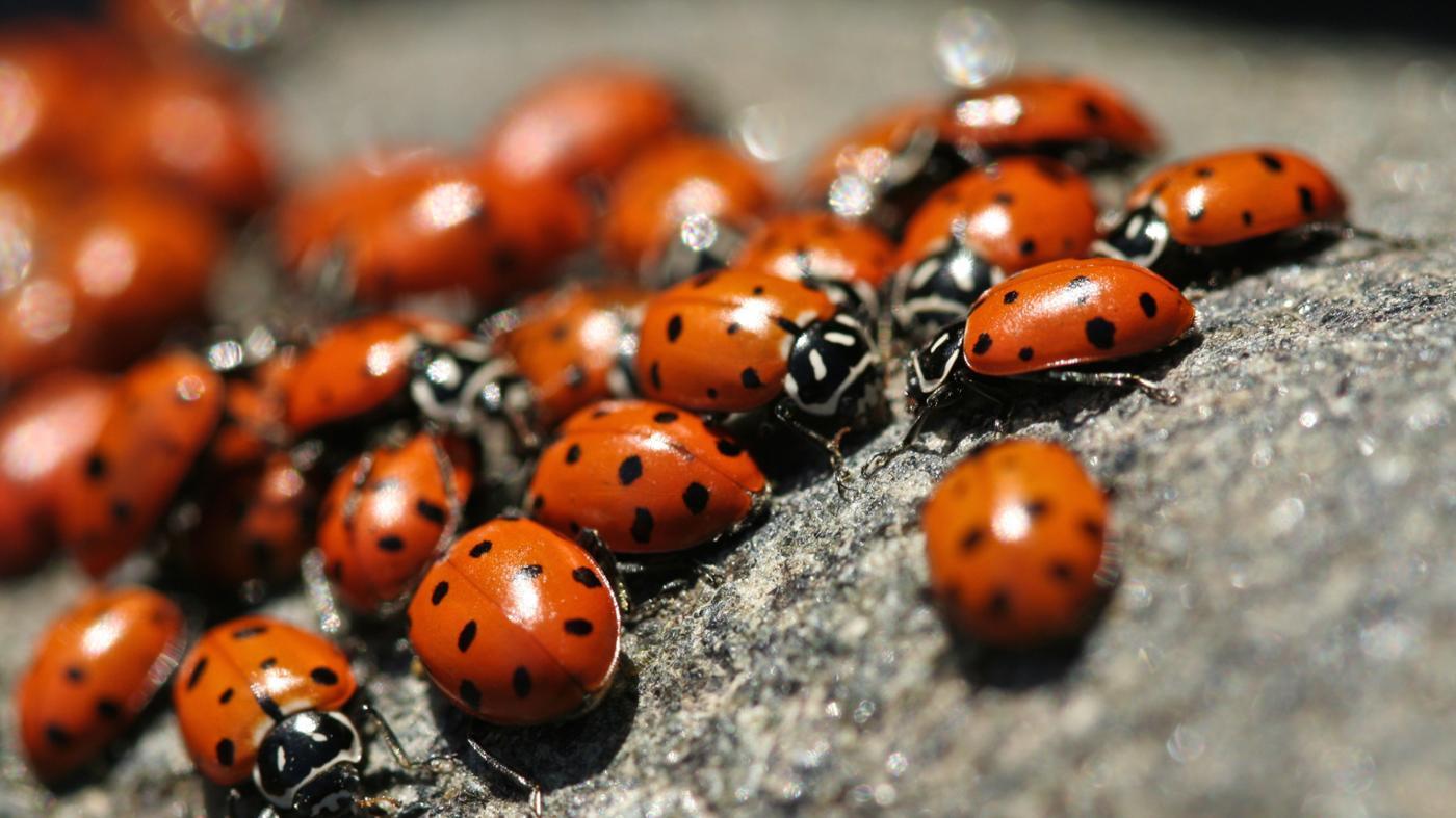 How Long Do Ladybugs Live?