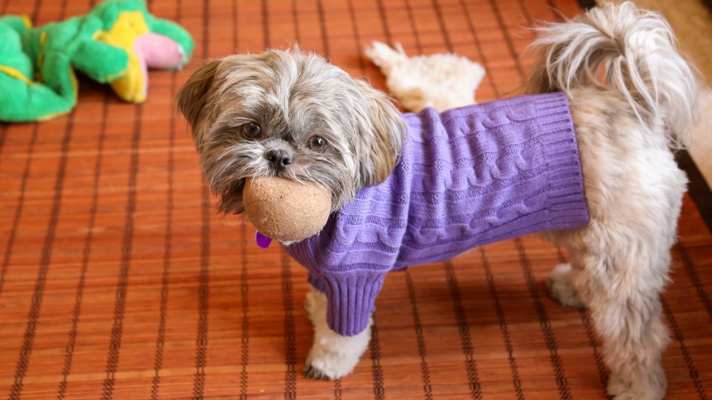 How Long Do Shih Tzu Dogs Live?