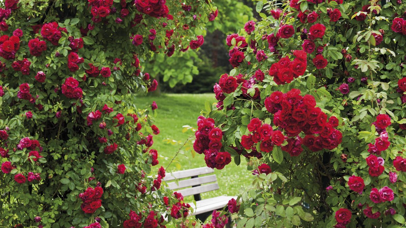How Do You Make a Natural Fungicide for Rose Bushes?