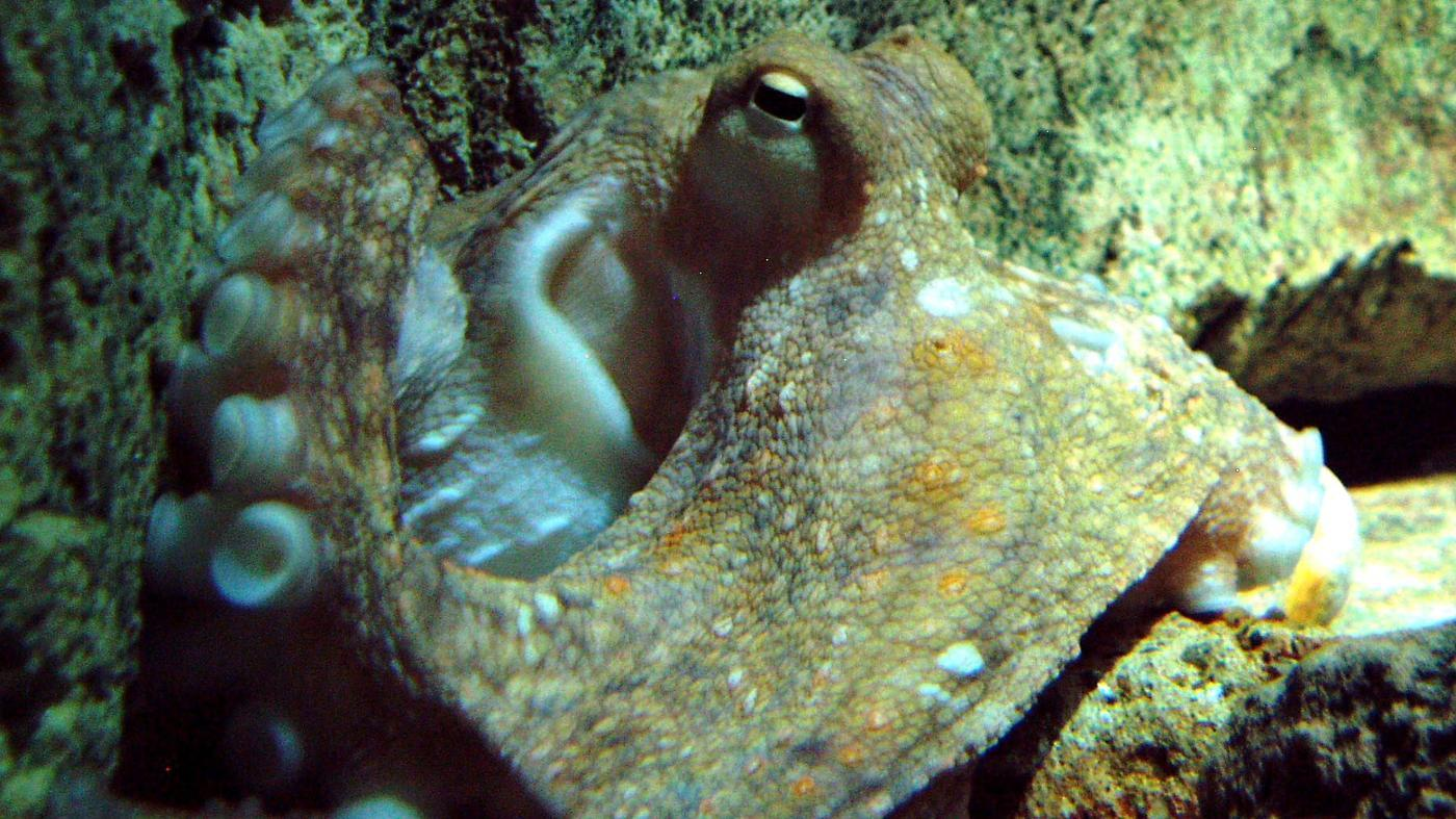 How Many Brains Does an Octopus Have ?