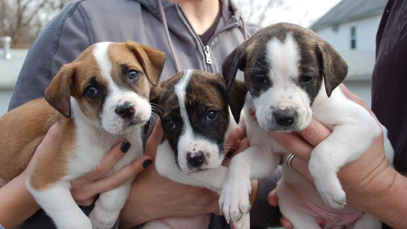 How Many Puppies Can a Pit Bull Have in One Litter?