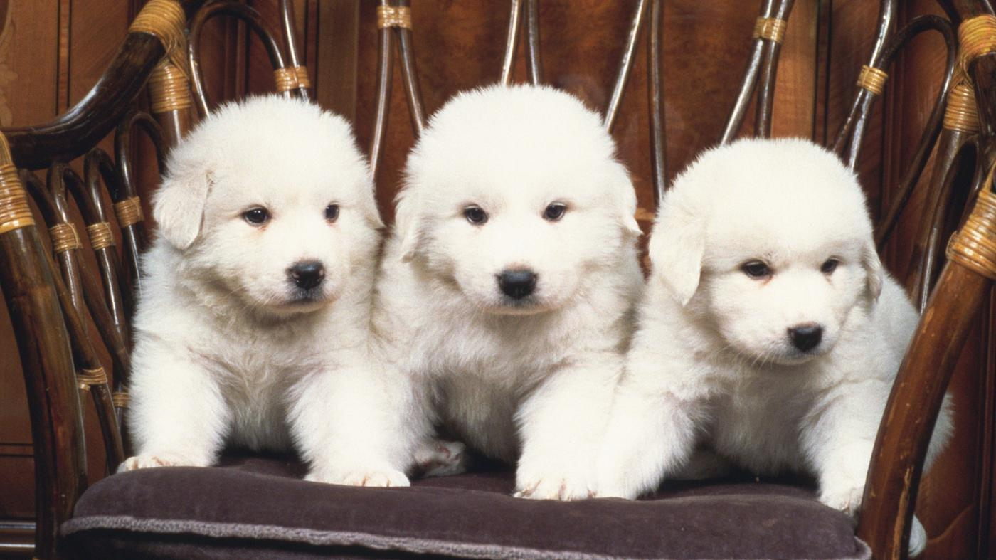 How Many Puppies Do Great Pyrenees Have?