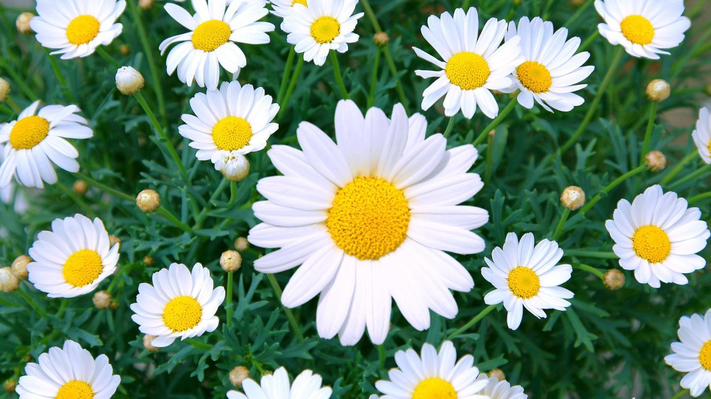 What Is the Meaning Behind Daisy Flowers?