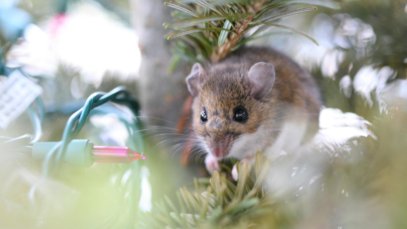 Are Mice Allergic to Peppermint?