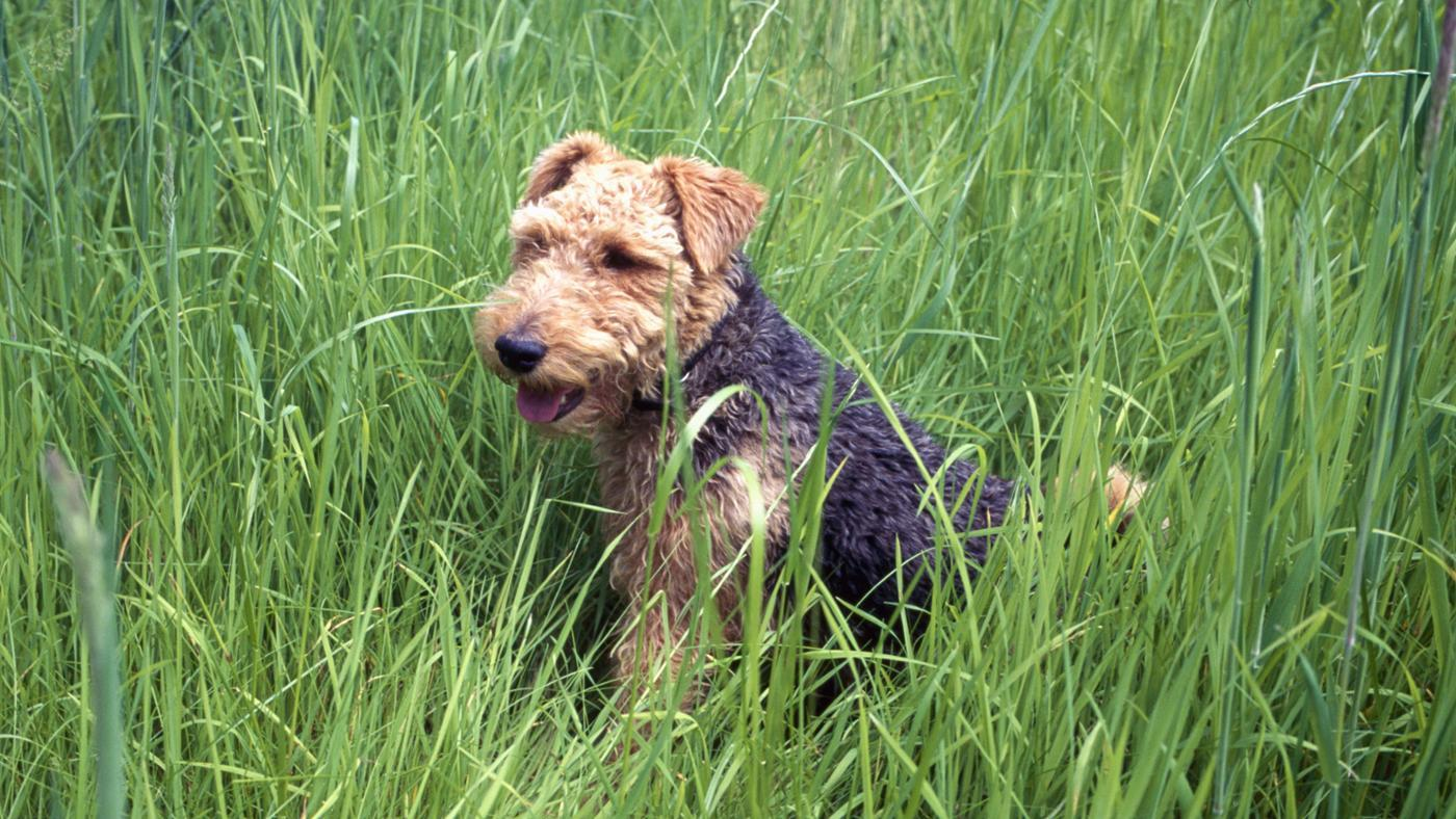 What Is a Miniature Airedale Terrier?