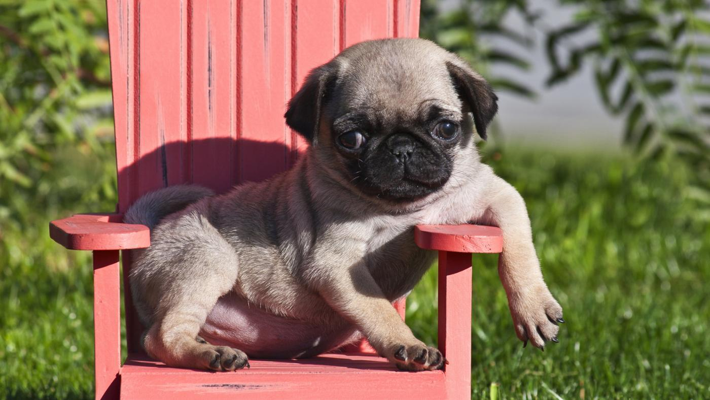 What Is a Miniature Pug?