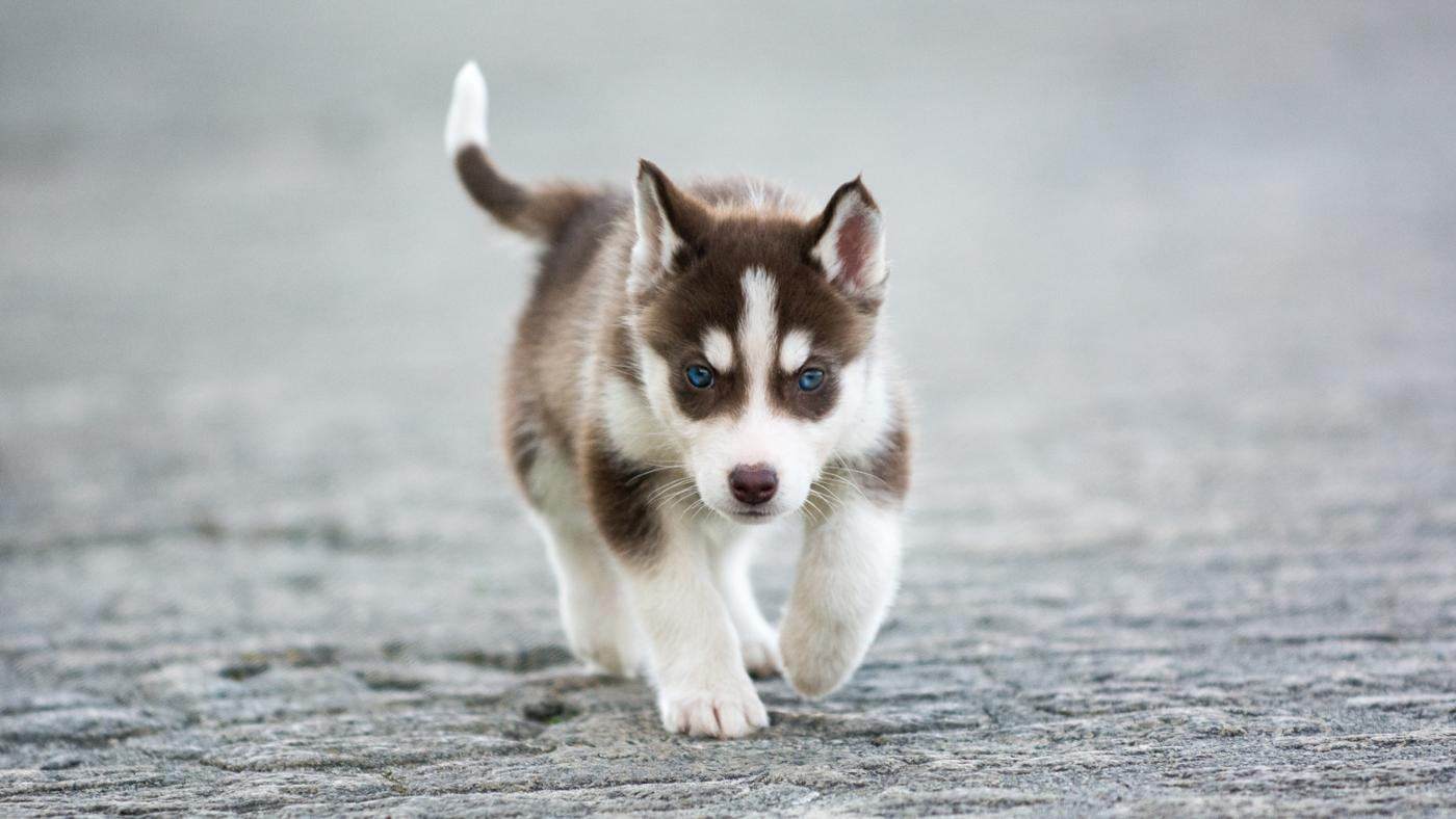 What Are Some Facts About Miniature Siberian Husky Puppies?