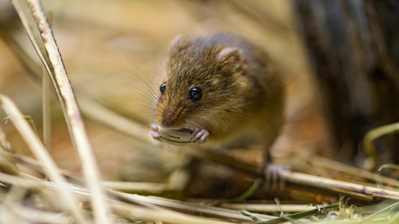 Will Mothballs Get Rid of Mice?