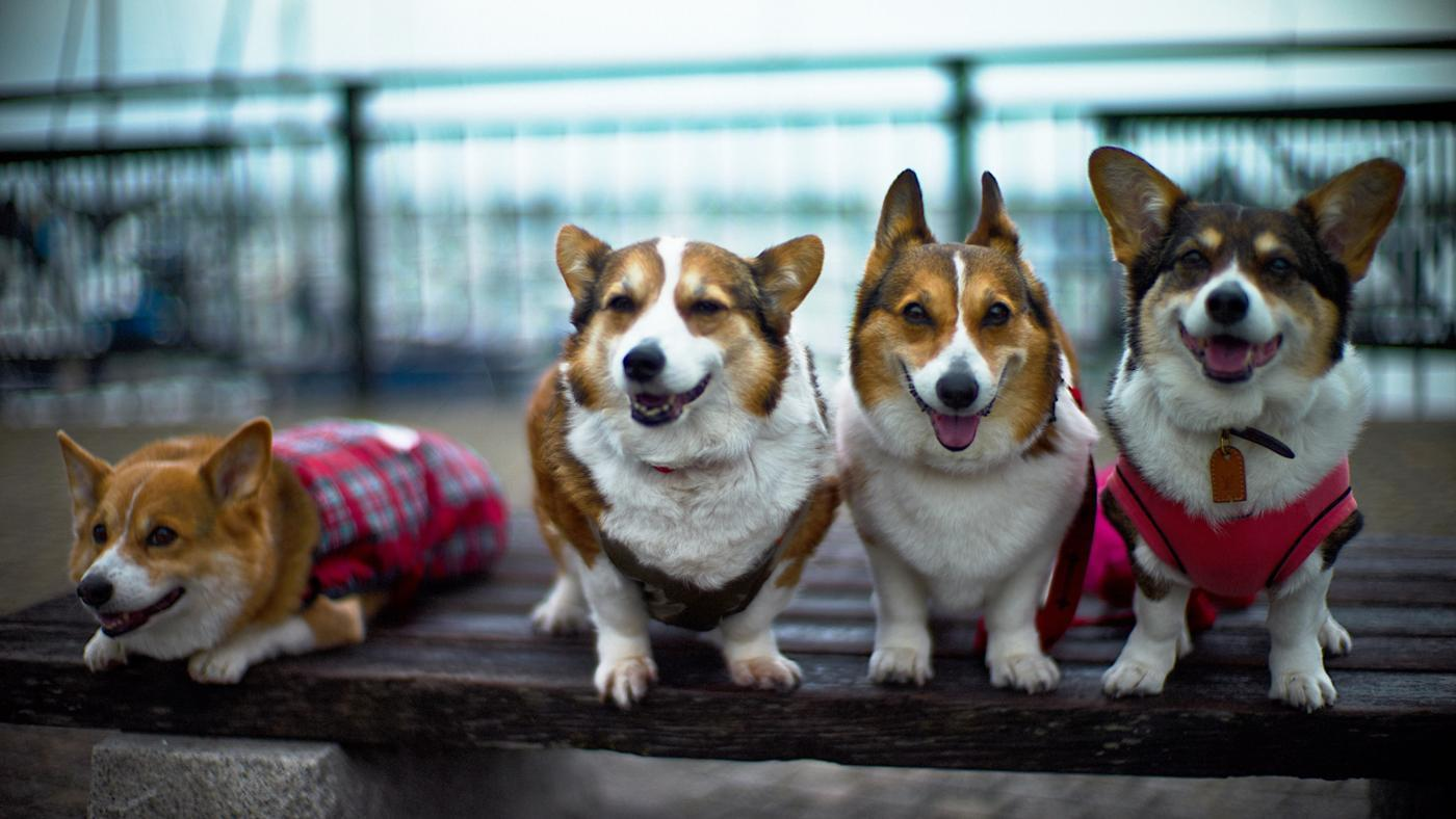 How Much Does a Corgi Cost?