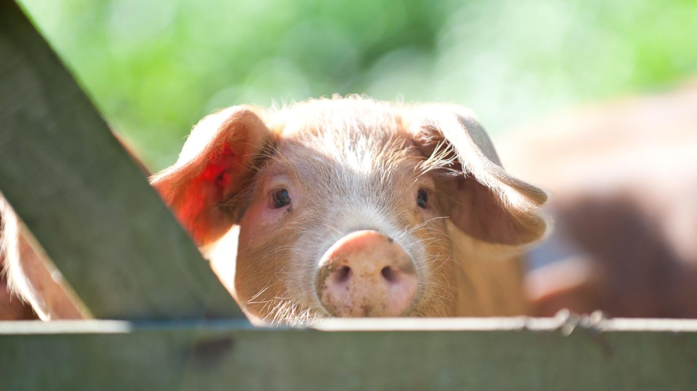 What Is the Name of a Female Pig?