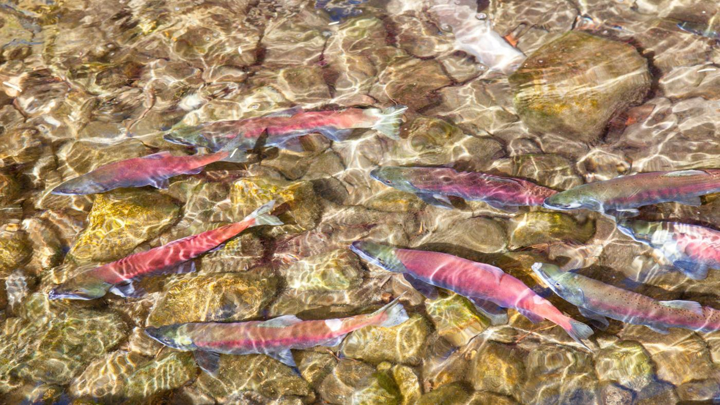 What Is the Name of Young Salmon?