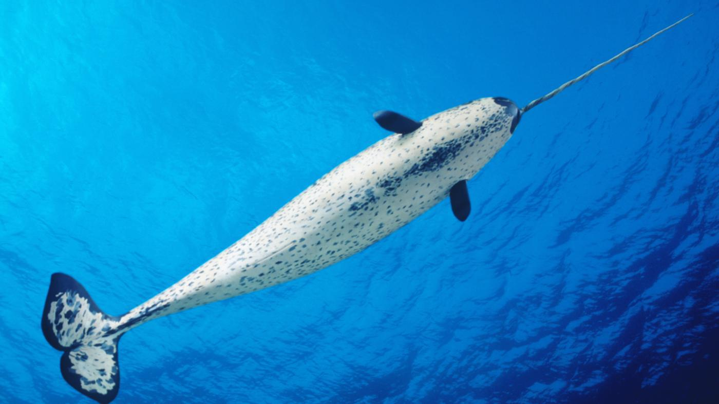 What Do Narwhals Eat?