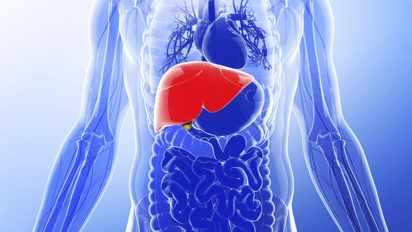 What Is the Normal Size of a Liver?