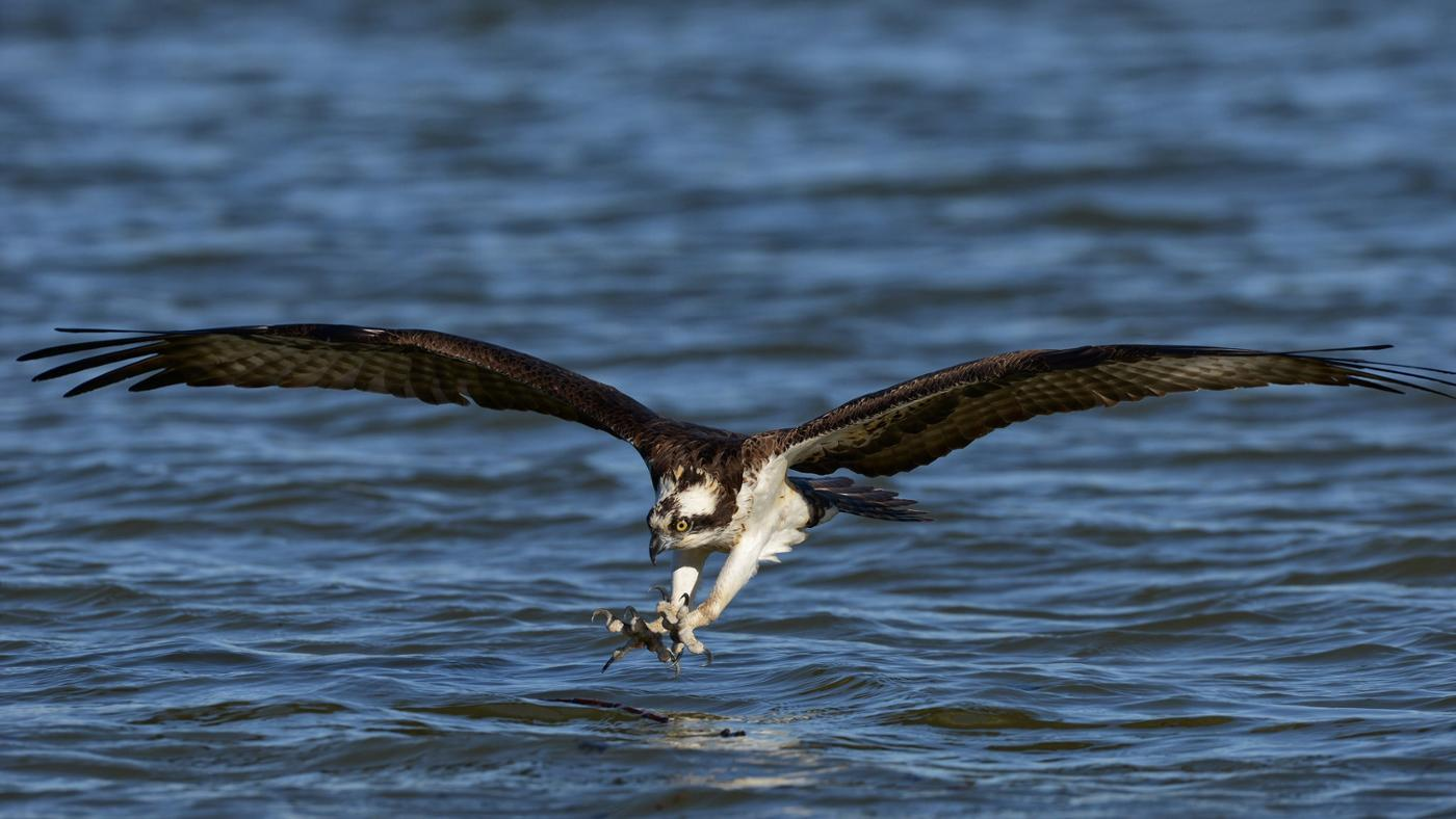 Where Do Ospreys Live?