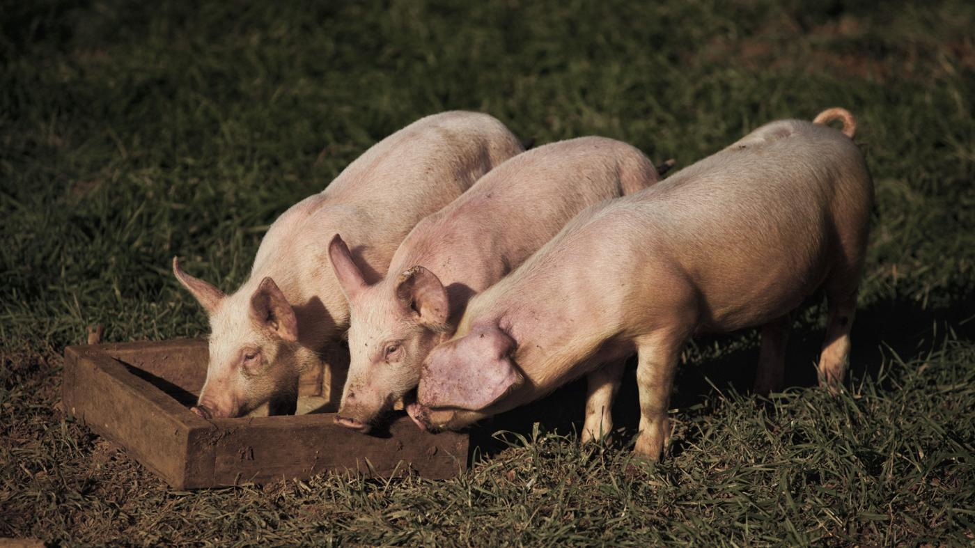 What Is in Pig Slop?
