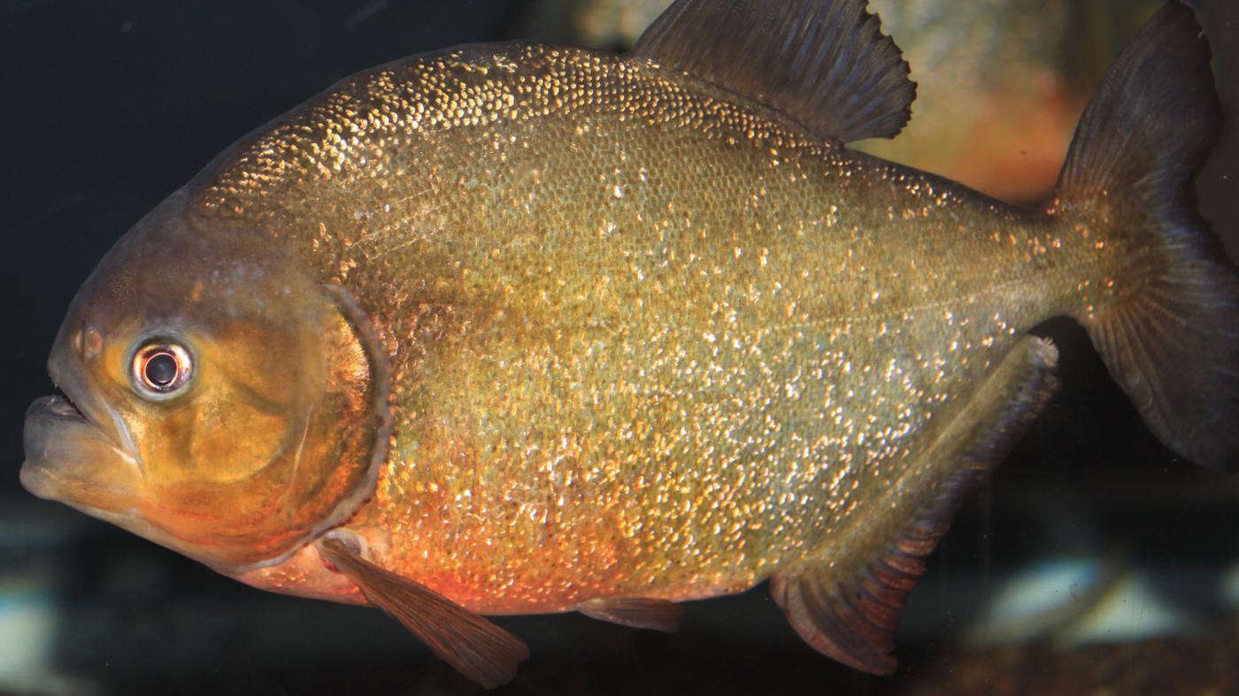 What Do Piranhas Eat?