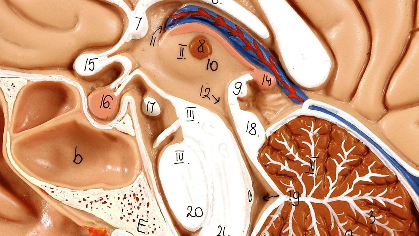 What Are Some Facts About the Pituitary Gland?