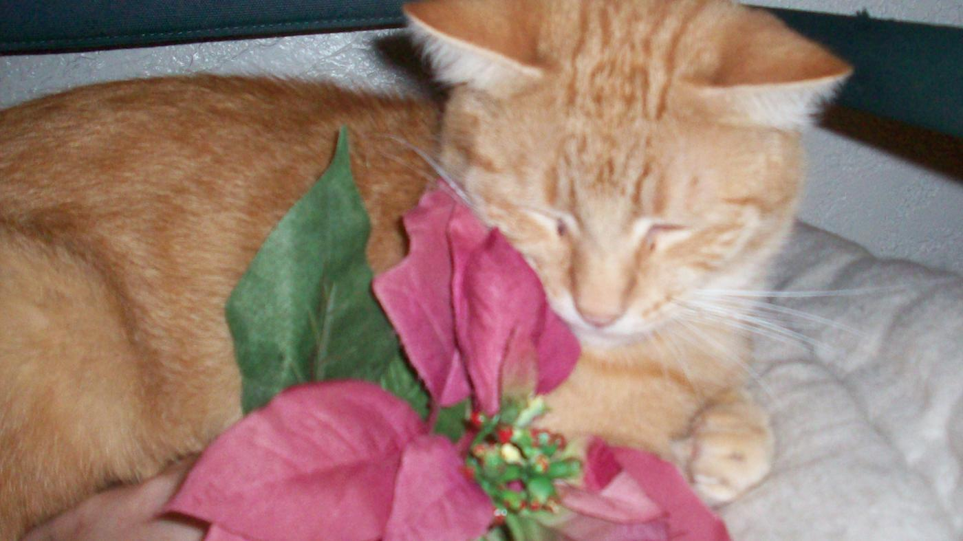 Are Poinsettia Plants Poisonous to Cats?