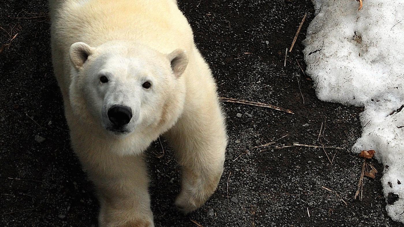 How Do Polar Bears Protect Themselves?