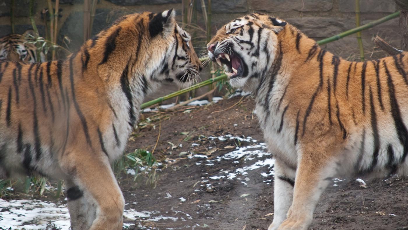 Who Are the Predators of Tigers?