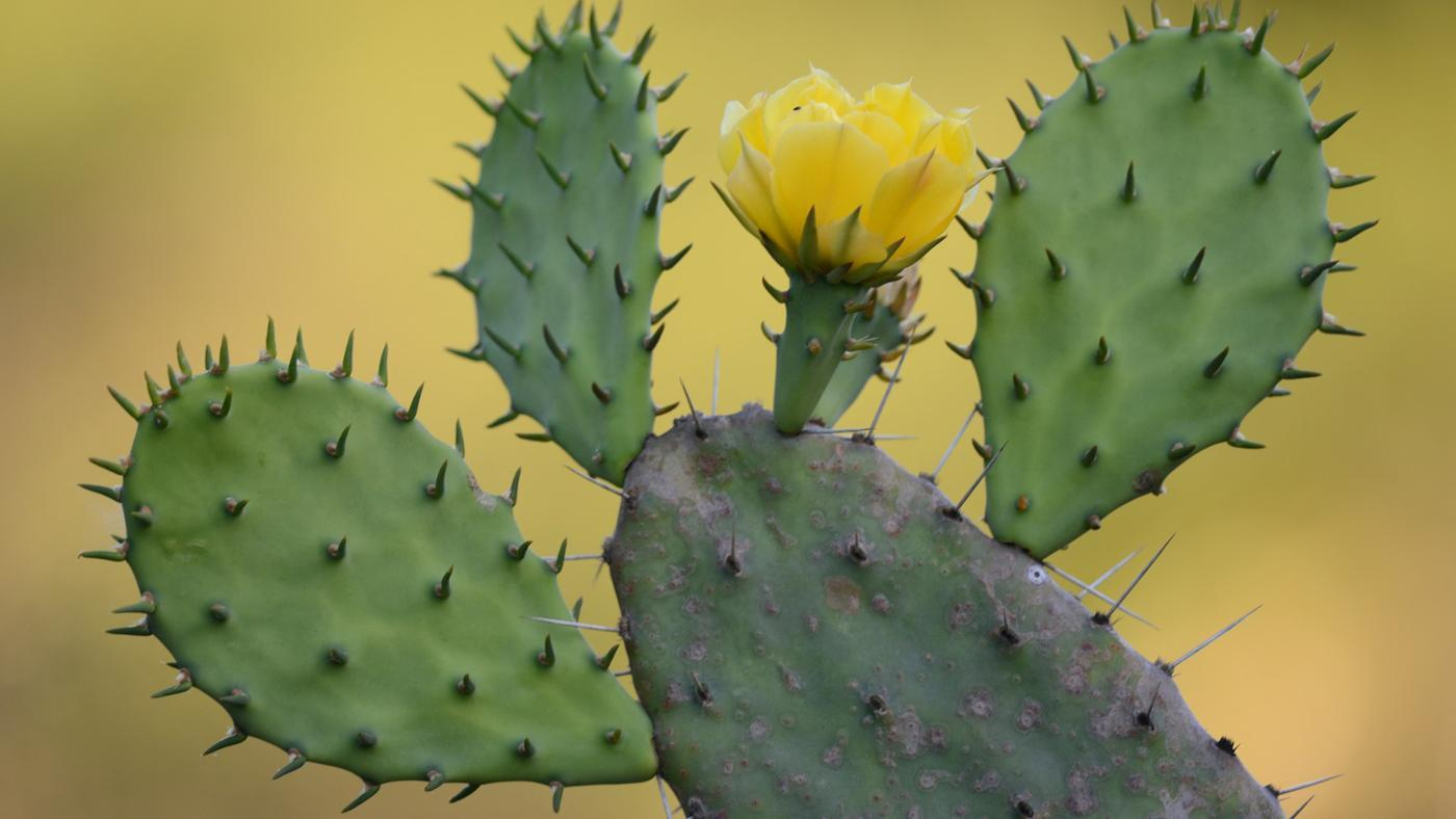 How Is the Prickly Pear Cactus Adapted to Desert Life?