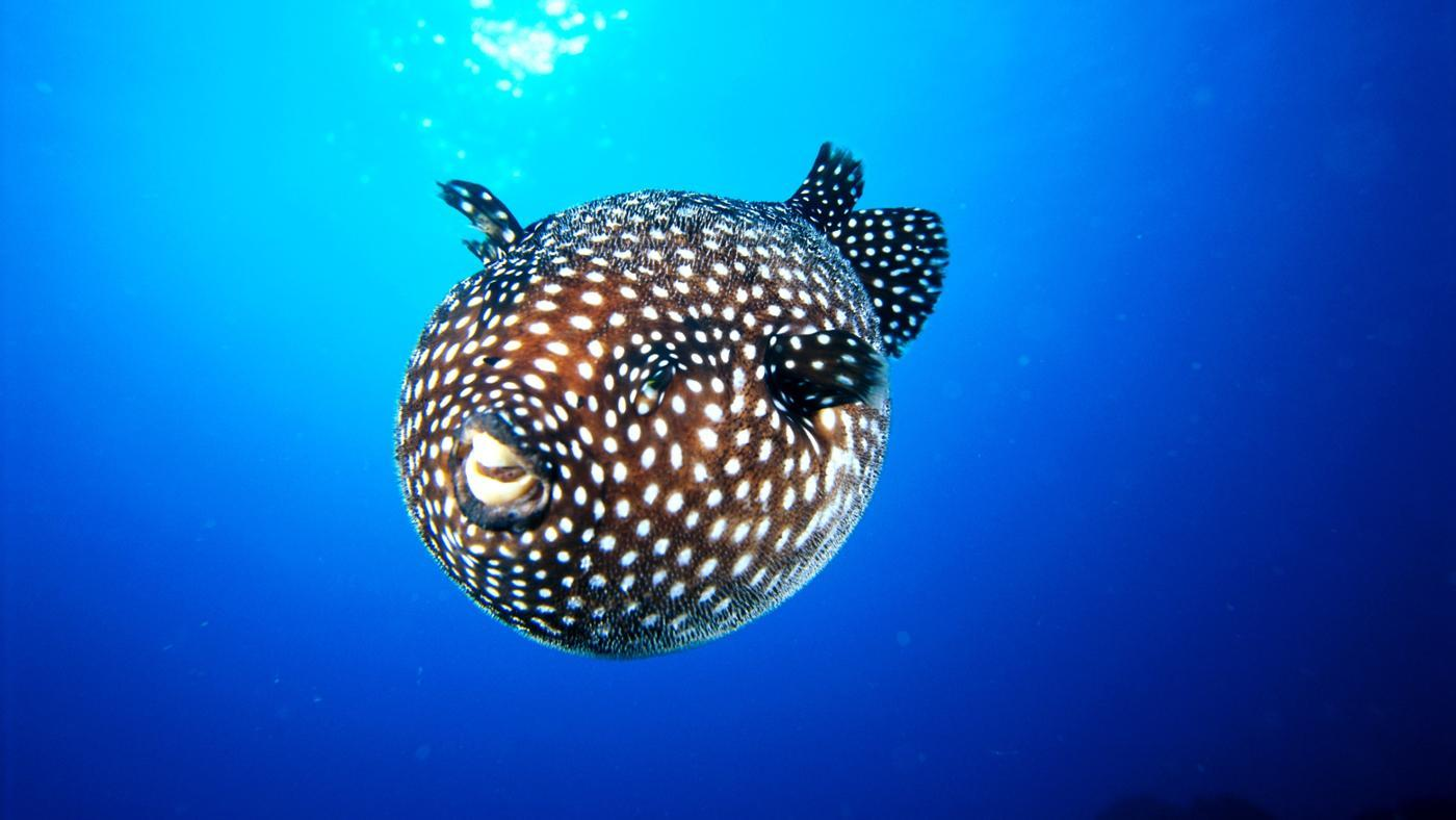 Where Do Puffer Fish Live?